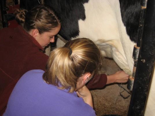 Amanda milking a cow