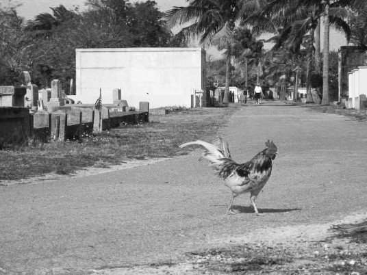 There are ferrell roosters and hens all over Key West.